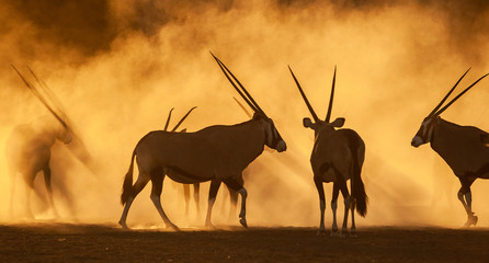 Gemsbok standing on dirt road