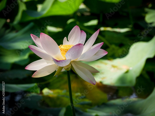 Foto op Canvas Lotusbloem Aquatic plant Nelumbo Adans with lotus flowers