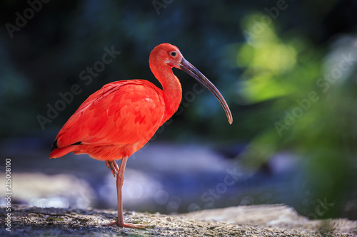 Scarlet Ibis bird Eudocimus ruber foraging on the ground Canvas Print