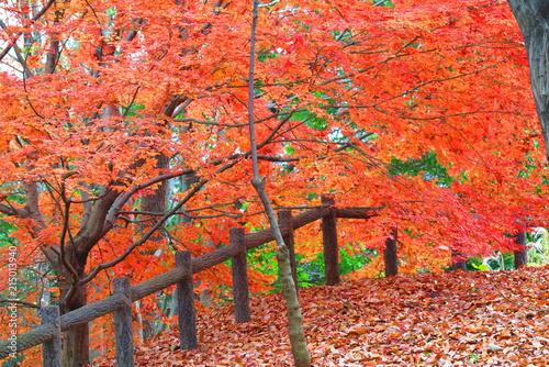 Staande foto Rood 公園のもみじの風景14