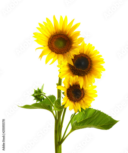 Beautiful bright yellow sunflowers on white background