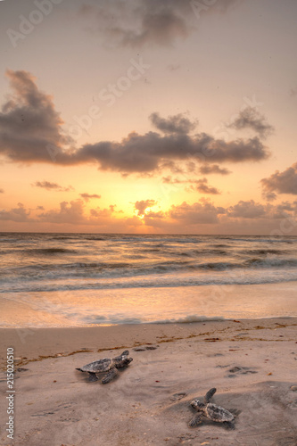 Fotografie, Obraz  Golden sunset over hatchling turtles Caretta caretta