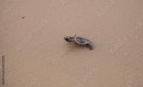Valokuva  Hatchling baby loggerhead sea turtles Caretta caretta climb out of their nest