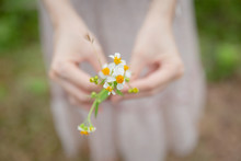 Closeup Woman Hand Hold Camomile Grass Flower Coat Buttons Flower Shallow Depth Of Field