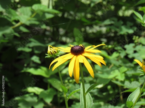 Fényképezés  Black-eyed Susan flower with insect on the center.
