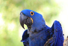 Blue Hyacinth Macaw Greeting