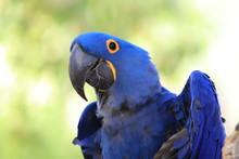 Blue Hyacinth Macaw Greeting