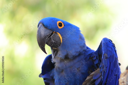 Blue hyacinth macaw greeting Canvas Print