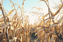 Dried Corn Stalks In A Corn Maze