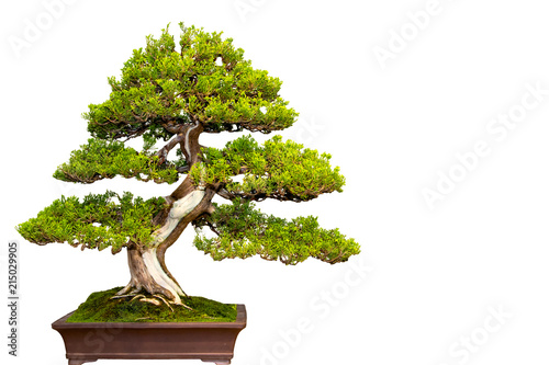 Photo Stands Bonsai A small bonsai tree in a ceramic pot isolated on a white background.