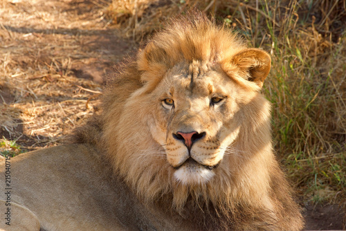 Fotografie, Obraz  Close up portrait of one young male lion laying in brown grass on a bright sunny hot summer day