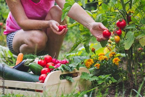 Photo  Woman harvesting fresh tomatoes in her organic garden
