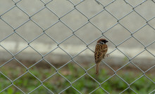 House Sparrow (Passer Domesticus) On The Fence Mesh