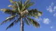 large palm tree moving in the wind, clouds slowly moving behind it against a bright blue sky