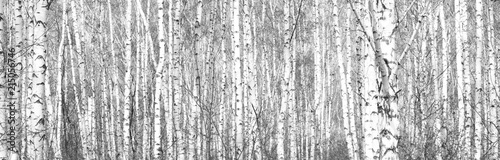 Obraz na plátně Black and white photo of black and white birches in birch grove with birch bark