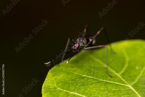 Plakat Wizerunek złote mrówki na zielonym liściu Thailand Makro- (polyrhachis illaudata)