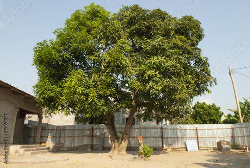 Congo arbre manguier