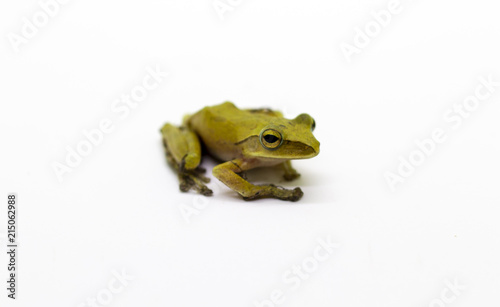 Tuinposter Kikker Image of Yellow frog on a white background