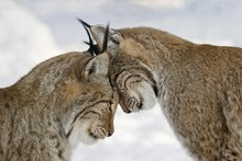 Two Lynxes In Love In Winter -...