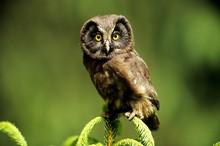 Tengmalm's Owl (Aegolius Funereus) Fledgling Sitting At The Peak Of A Fir Tree, Neunkirchen Im Siegerland, North Rhine-Westphalia, Germany, Europe