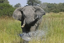 African Bush - Or Savanna Elephant (Loxodonta Africana) Spraying Water From Its Trunk, Khwai River, Moremi National Park, Moremi Wildlife Reserve, Okavango Delta, Botswana, Africa