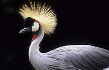 Black Crowned Crane Or Kaffir Crane (Balearica Pavonina)