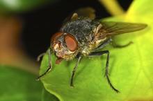 European Bluebottle Blowfly Ca...