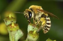 Plasterer Bee Colletes Daviesanus
