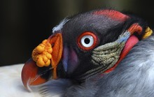 Close Up Of King Vulture