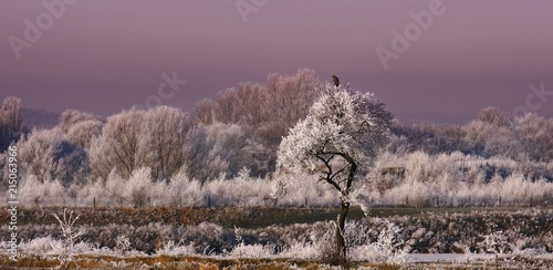 Winter landscape: buzzard perched on top of a frost-covered tree