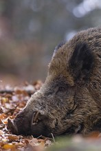 Close Up Of Wild Boar Resting ...