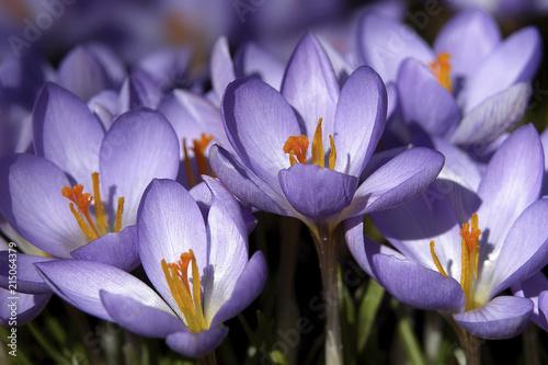 Crocus flowers (Crocus) - Germany, Europe