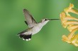 Black-chinned Hummingbird (Archilochus alexandri), female feeding on Yellow Trumpet Flower (Tecoma stans), Tucson, Sonoran Desert, Arizona, USA, North America