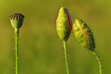 Close Up Of Common Poppy