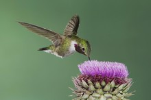 Broad-tailed Hummingbird (Selasphorus Platycercus), Male In Flight Feeding On Musk Thistle (Carduus Nutans), Rocky Mountain National Park, Colorado, USA, North America