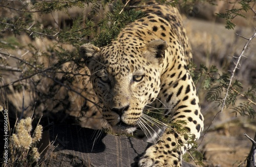 Tuinposter Luipaard Leopard (Panthera pardus) on the prowl, Namibia, Africa