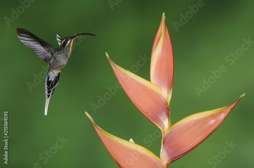 Green Hermit (Phaethornis guy), female in flight on Heliconia flower in rainforest, Central Valley, Costa Rica, Central America