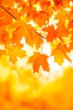 Bright Orange Yellow Maple Leaf Background