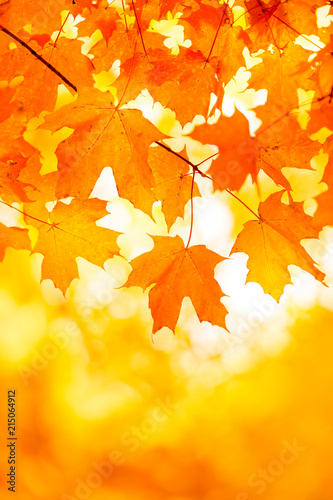 Bright Orange Yellow Maple Leaf Background