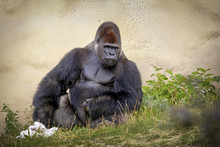 Gorilla Rest And Sit