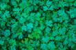 Top view of Young seedlings of parsleys
