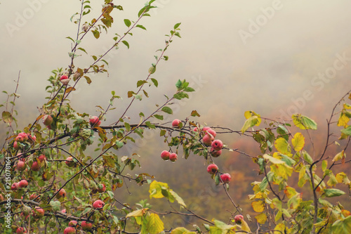 Poster Nature Apple tree branch