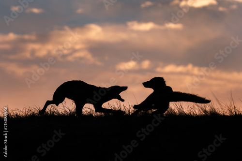 red fox silhouette