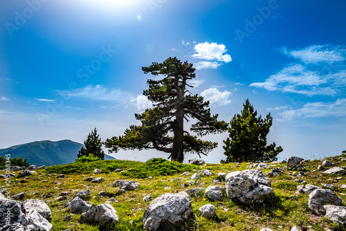 Loricato pines in the Pollino national park