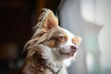 Long Hair Chihuahua Watching T...