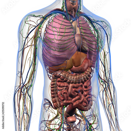 Male Internal Anatomy Of Chest And Abdominal Area On White
