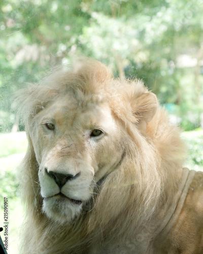 Zdjęcie XXL Zamyka w górę twarzy biały lew w zoo.