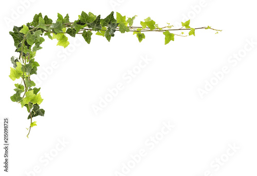 Obraz na plátně Frame of ivy -Fresh ivy leaves isolated on white background, clipping path inclu