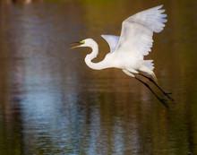 White Egret Taking Flight Over Pond.CR2