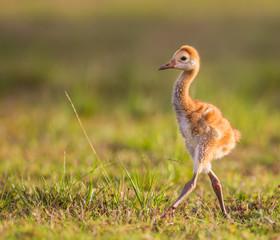 Sandhill crane chick camera right.